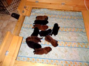 975621824 puppies 11 days old